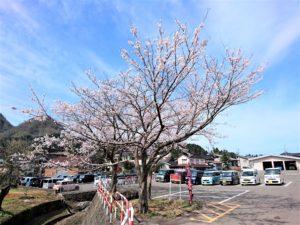 園庭の桜 (1)
