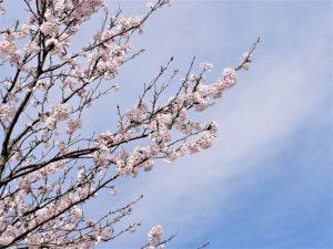園庭の桜 (2)